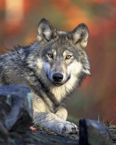 A gray wolf in 2008. The only wolf populations to have protection going forward would be Mexican wolves in southern Arizona and New Mexico. Gary Kramer/U.S. Fish and Wildlife Service, via Associated Press