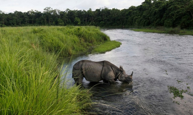 Nepal's rhino numbers rise steadily thanks to anti-poaching measures