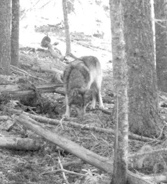 A photo from a hunter's trail camera appears to show OR7, the young male wolf that has traveled more than 3,000 miles since leaving his pack in northeastern Oregon. (Associated Press)