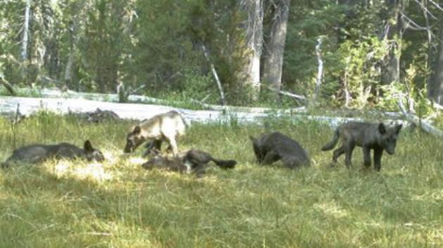 Five gray wolf pups captured on a trail camera in Northern California in early August are members of the first established pack in the state in decades. (California Department of Fish and Wildlife)