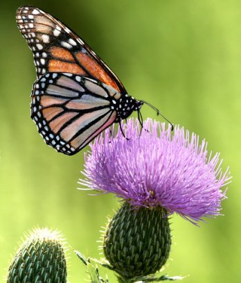 The monarch population has declined with extreme weather and changes in farming that have diminished its source of food. Credit Travis Morisse/ The Hutchinson News via Associated Press