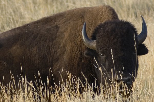 Ranches owned by Ted Turner Enterprises are home to 51,000 bison--the world's largest private herd.