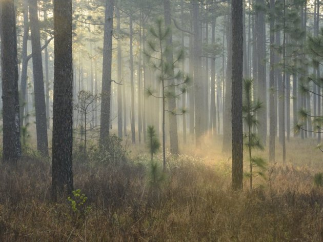 A bold conservation vision calls for a return to the South's once-vast longleaf pine forests. (Carlton Ward Jr. )